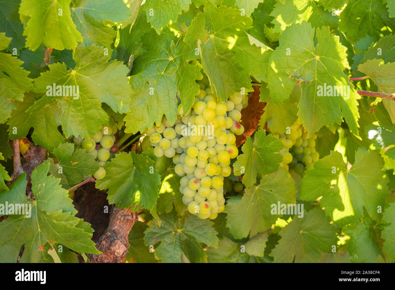 Detail of a white grape vineyard in Extremadura, Spain Stock Photo