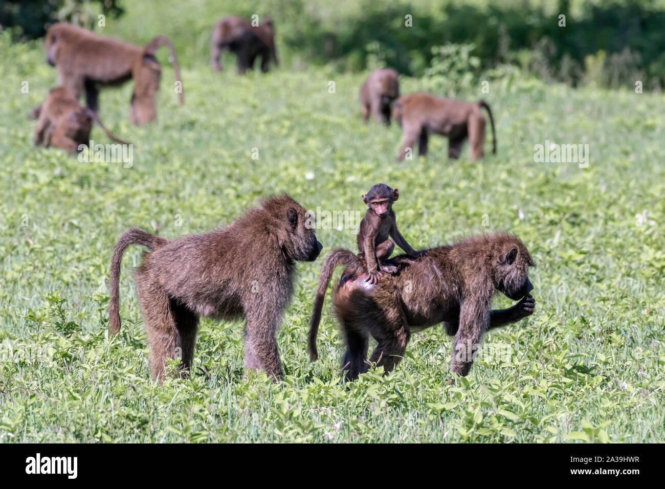 Too close for comfort, baby olive baboon reacts to the close presence of a large baboon, Ngorongoro Crater, Tanzania Stock Photo