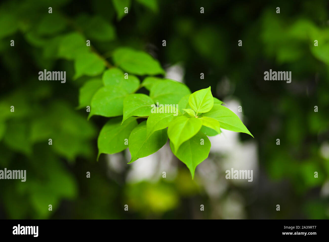 Green Leafs Hd Wallpaper Stock Photo Alamy