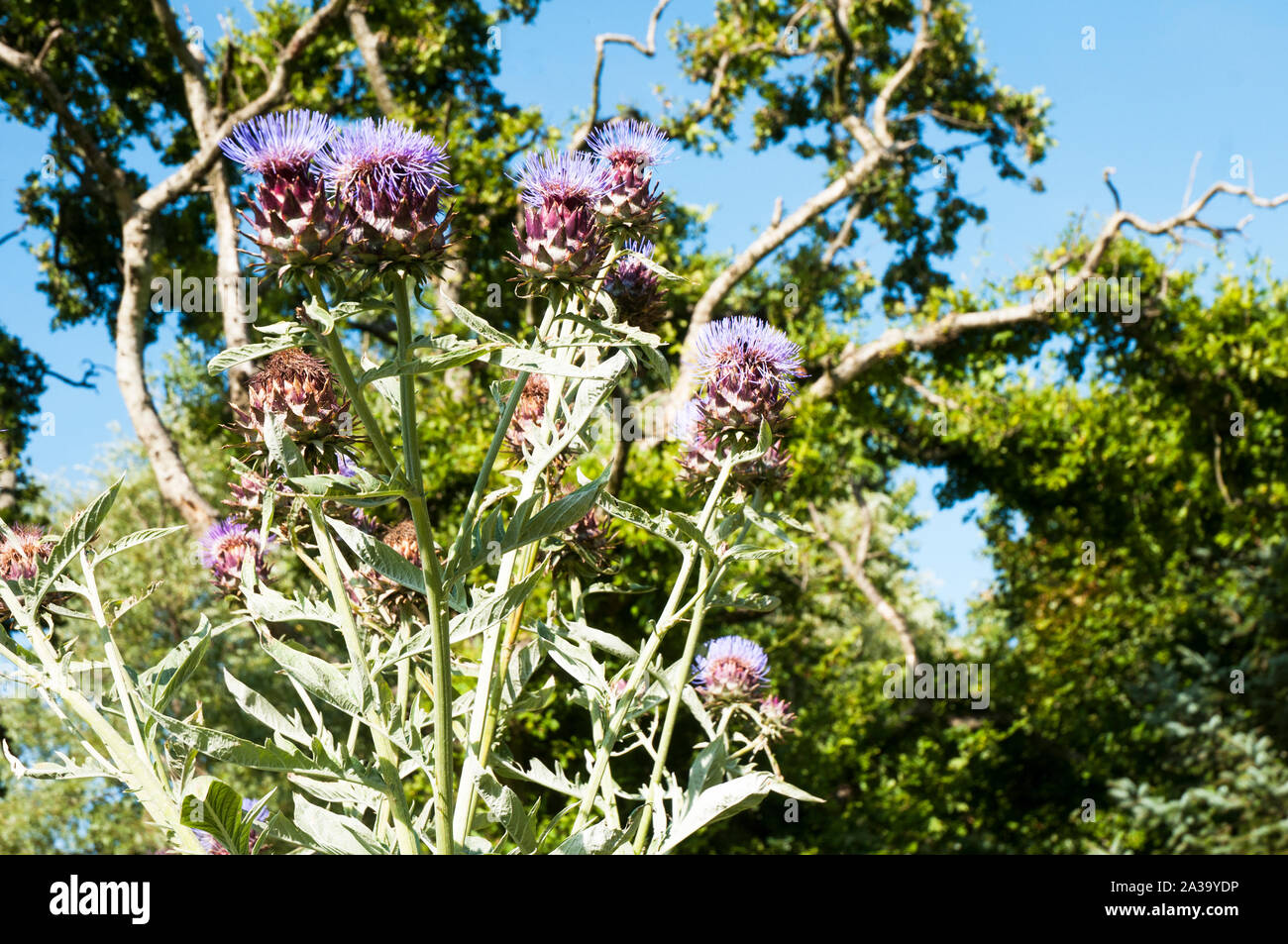 Cynrar Cardunculus Cardoon Other Names Are Artichoke Thistle And