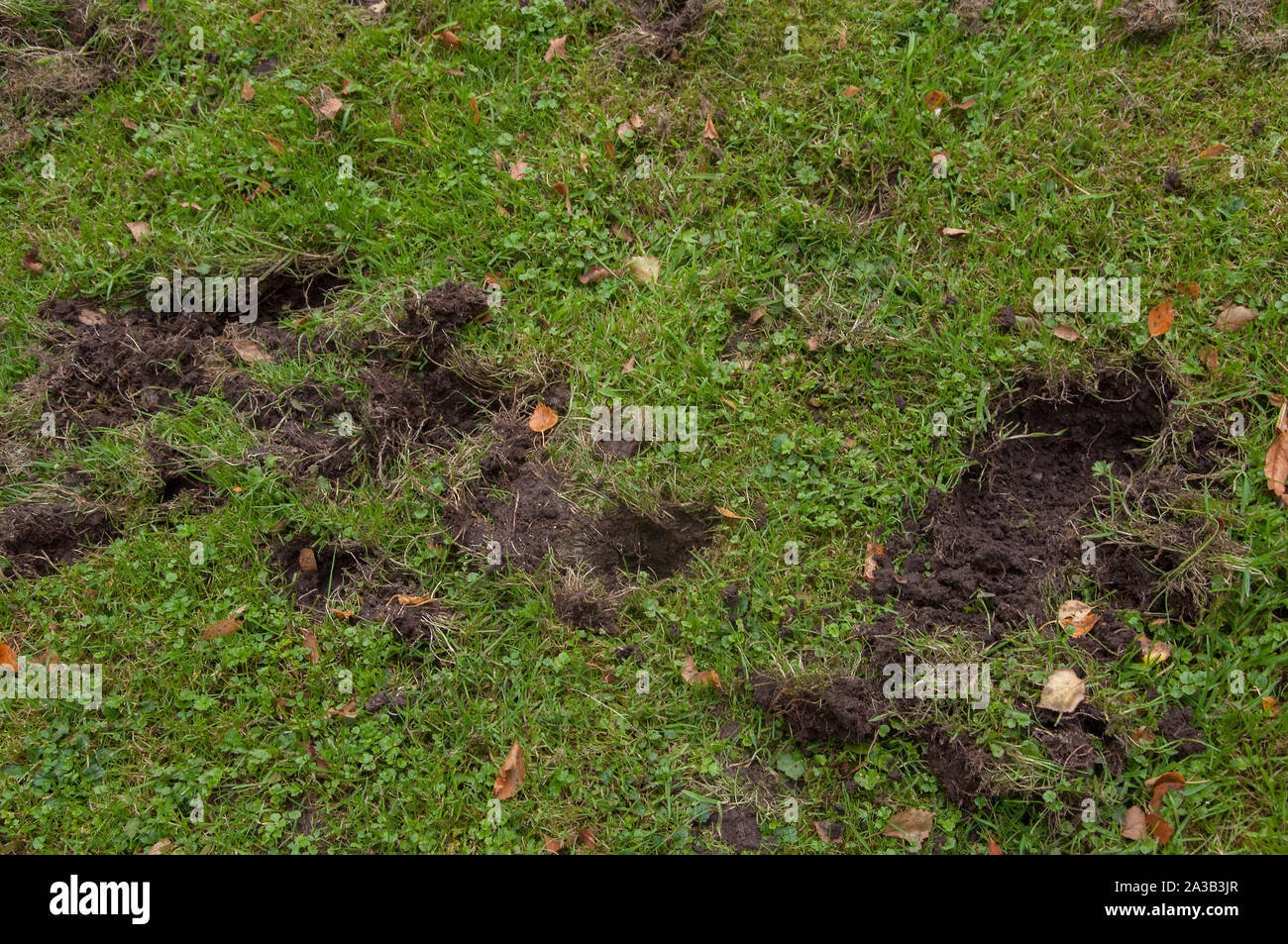 evidence of badger digging in a lawn dumfries sw scotland 2A3B3JR