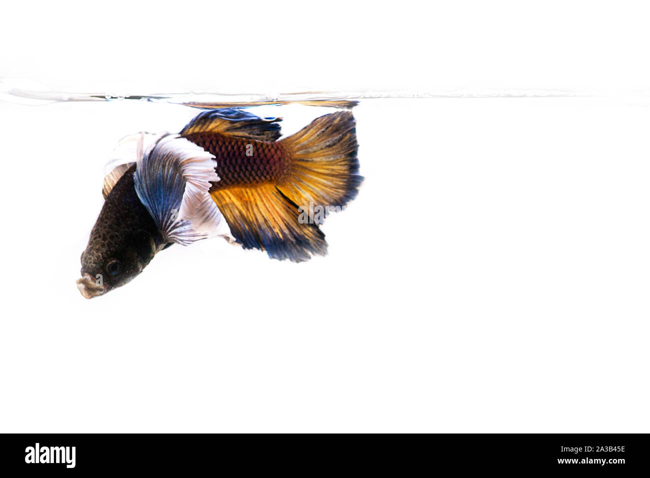 Siamese fighting Fish. Betta fish in beautiful movement with yellow color on black background Stock Photo