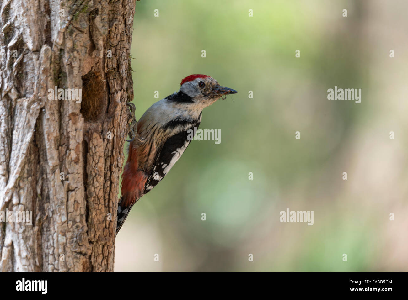 Middle spotted woodpecker holding food in its beak Stock Photo