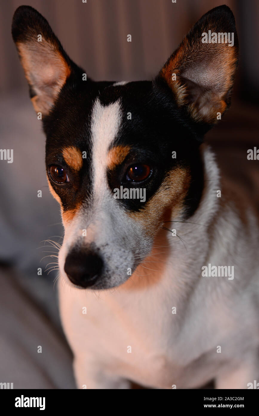 Jack Russell Short Hair And Short Leg White Black And Brown Dog Stock Photo Alamy