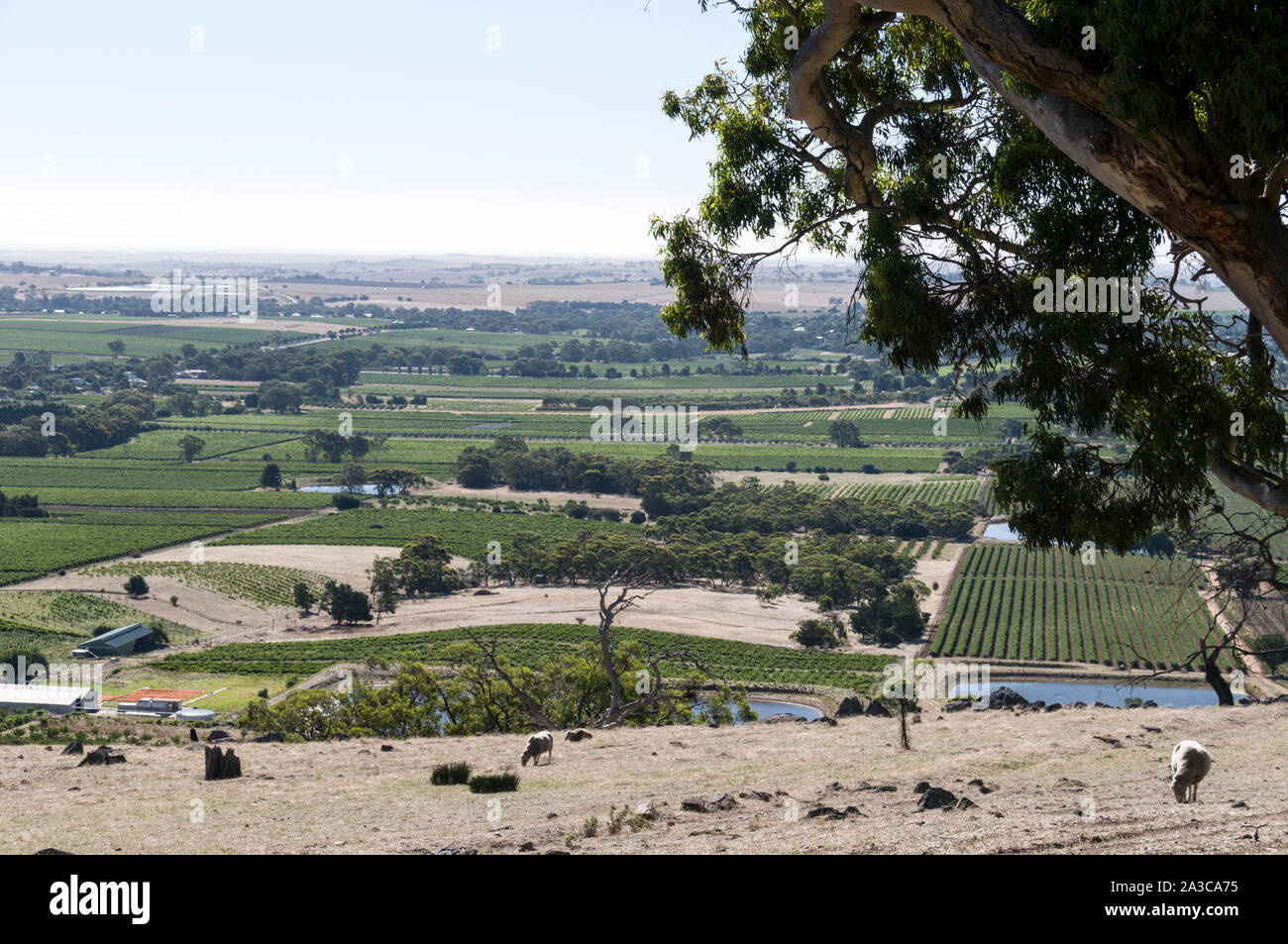 A panoramic view of thousands of acres of vines from Mengler Hill Lookout in the Barossa Valley wine region in South Australia.   There are about 150 Stock Photo