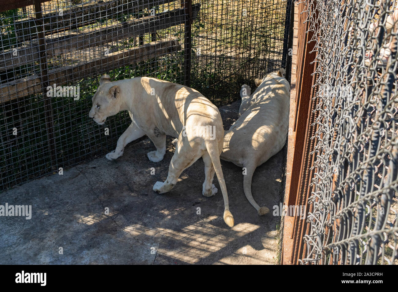 Two adult lionesses in the zoo resting in the enclosure - Stock Photo