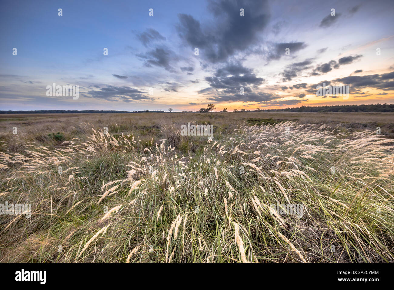 Natural heathland landscape with grass vegetation near Hijken in Province of Drenthe on beautiful summer evening in the Netherlands Stock Photo