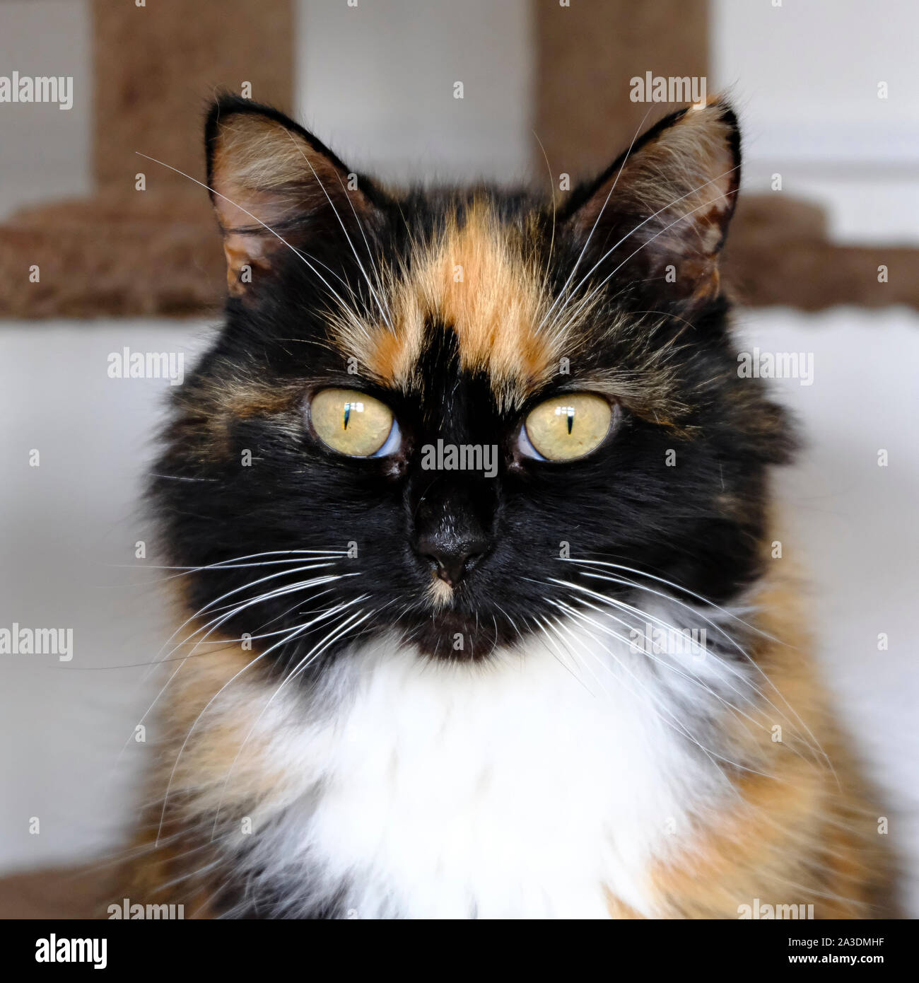 Portrait of a very pretty longhaired female Tortie Cat Stock Photo