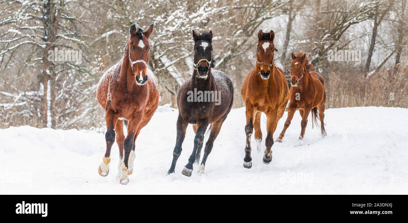 Wild Horses Run Snow High Resolution Stock Photography And Images Alamy