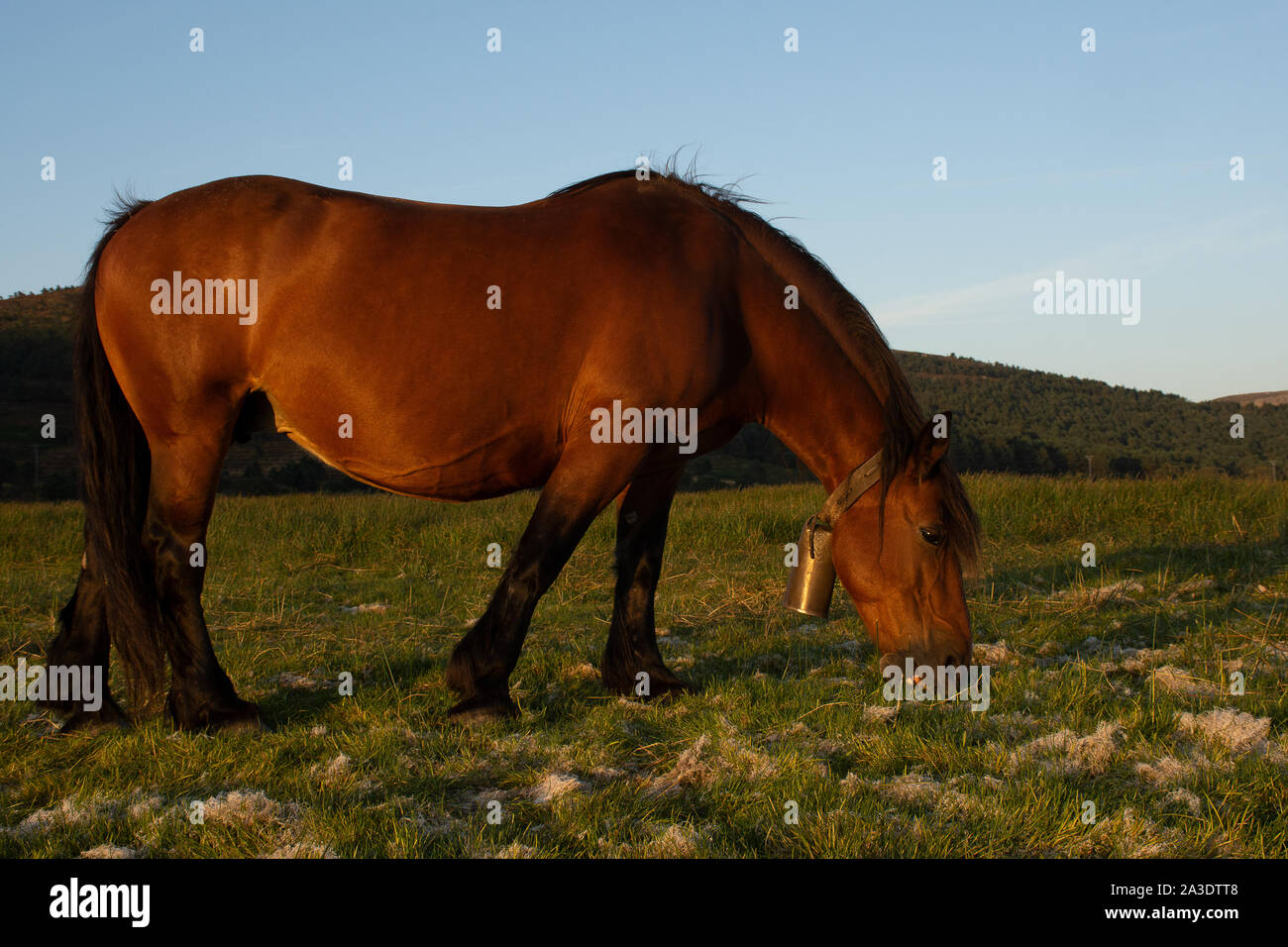 horses with long hair grazing in the fields Stock Photo