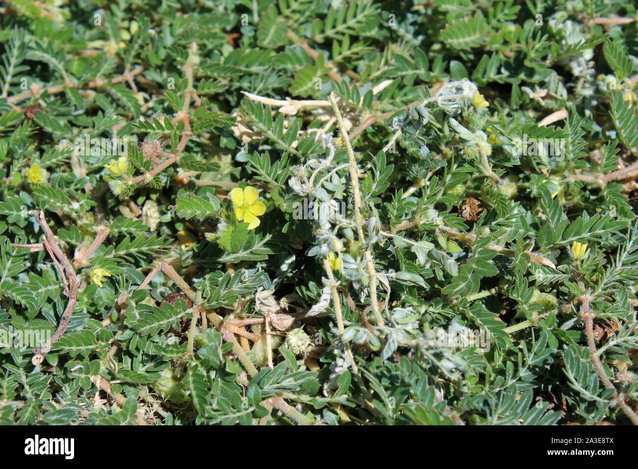 In the fringes of Landers, grows this small Southern Mojave Desert native plant, casually as Puncturevine, and botanically as Tribulus Terrestris. Stock Photo