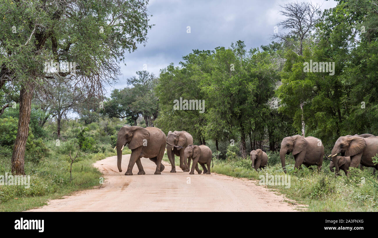 African bush elephant small family group crossing safari road in Kruger National park, South Africa ; Specie Loxodonta africana family of Elephantidae Stock Photo