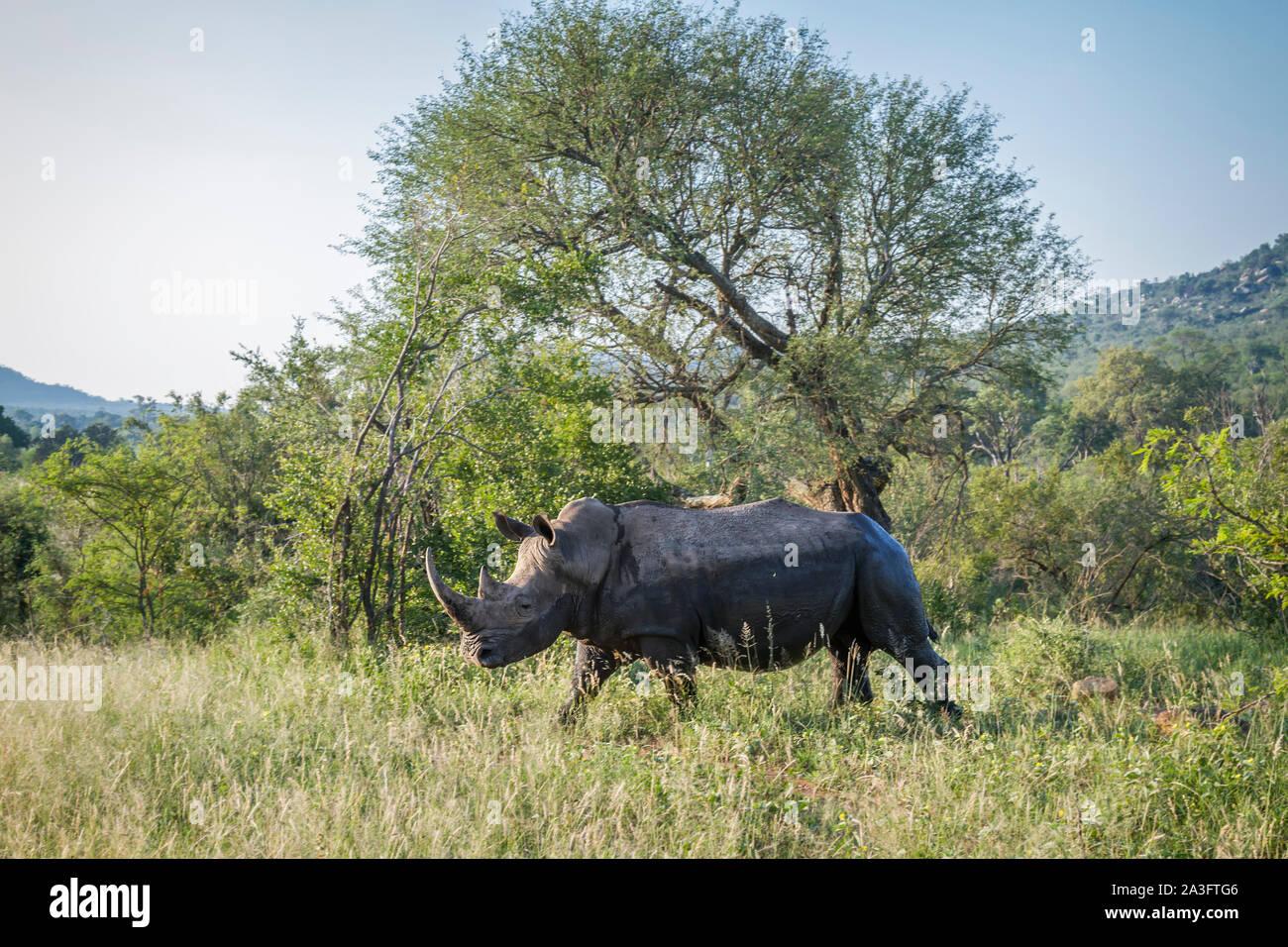 Southern white rhinoceros in green savannah in Kruger National park, South Africa ; Specie Ceratotherium simum simum family of Rhinocerotidae - Stock Photo