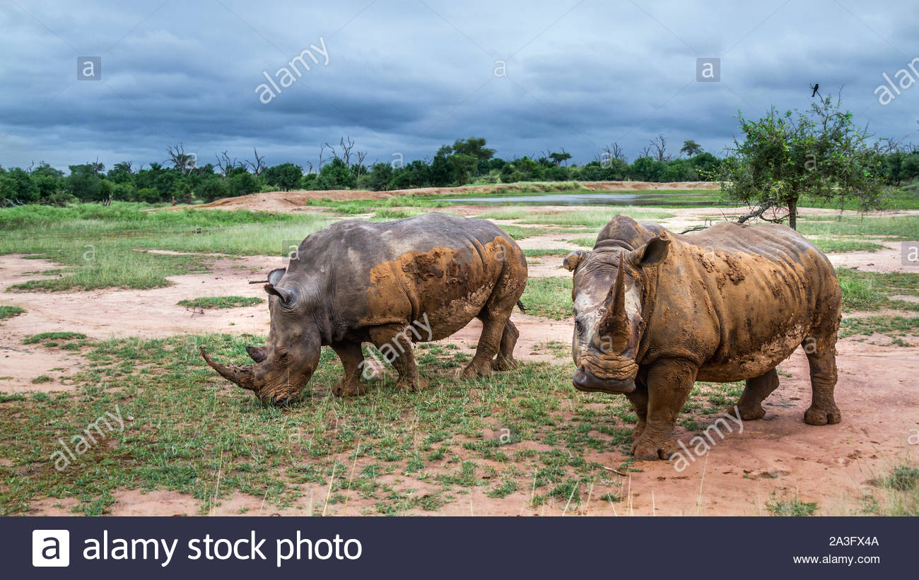 Two Southern white rhinoceros in wide angle view in Hlane royal National park, Swaziland scenery; Specie Ceratotherium simum simum family of Rhinocero - Stock Photo