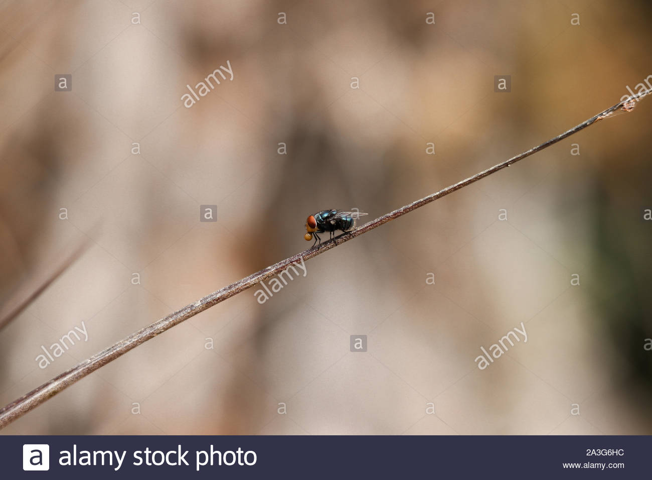 Captured a fly having a bubble gum Stock Photo