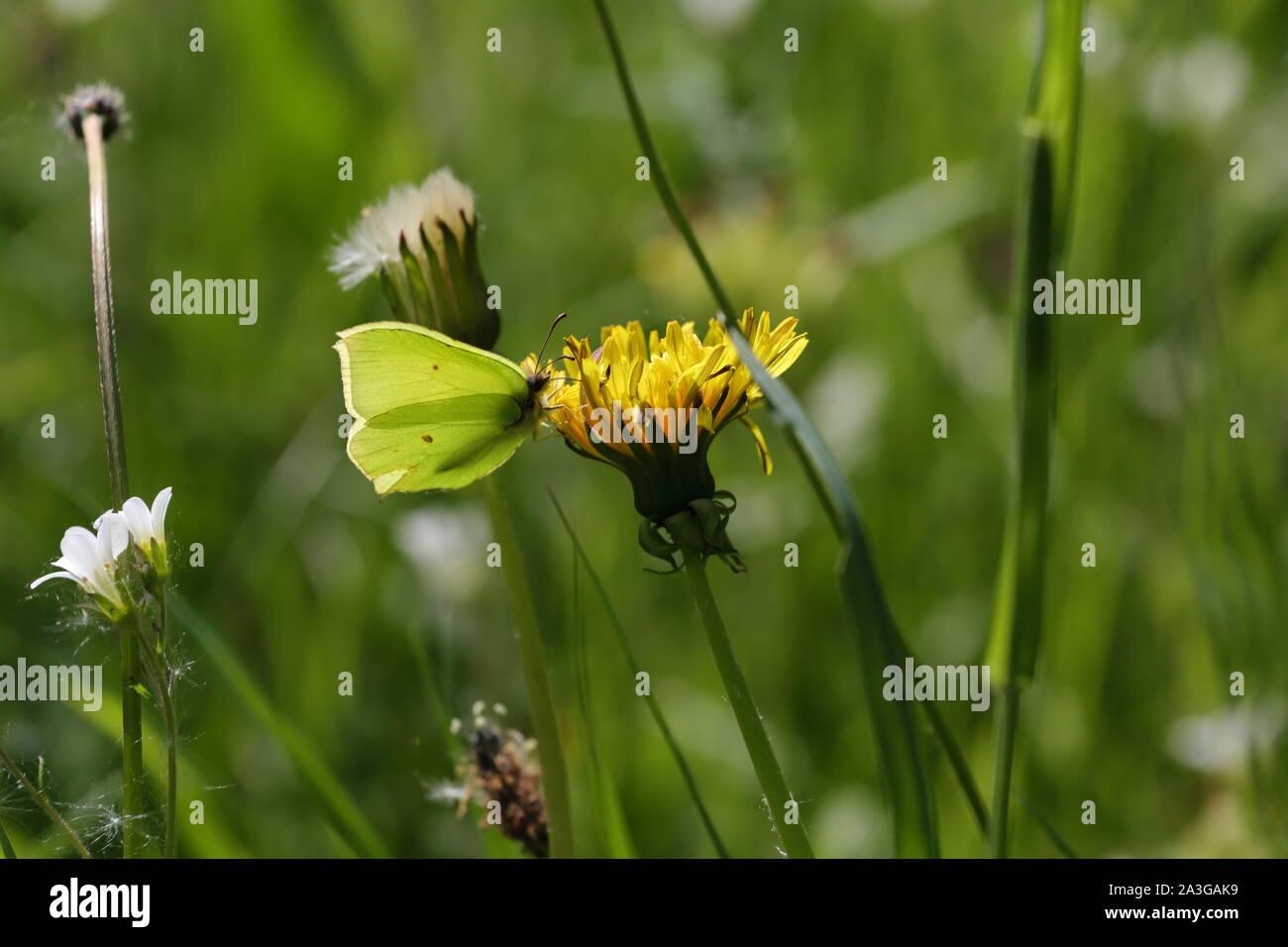 Brimstone butterfly on a dandelion flower Stock Photo