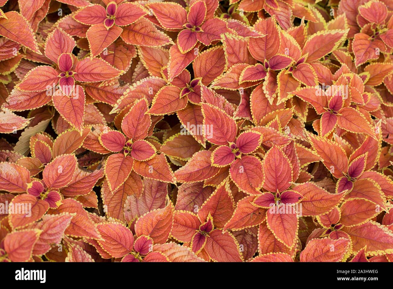 Plectranthus scutellarioides 'Rustic Orange' coleus. Stock Photo
