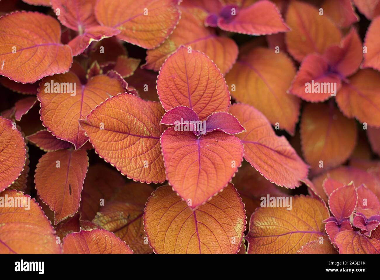 Plectranthus scutellarioides Colorblaze Sedona sunset coleus. Stock Photo