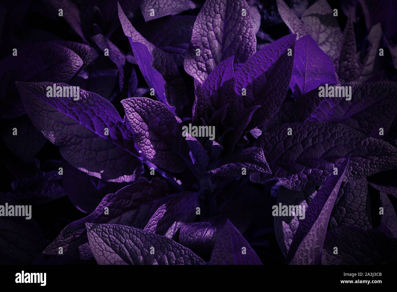 Plant With Purple And Black Leaves Leaves Pattern Background Natural Background And Wallpaper Stock Photo Alamy