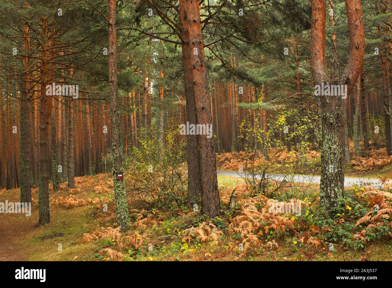 Valsain forests on the northern slope of the Sierra de Guadarrama crowned by the ports of Navacerrada and Fuenfría, Segovia, Madrid. Spain Stock Photo