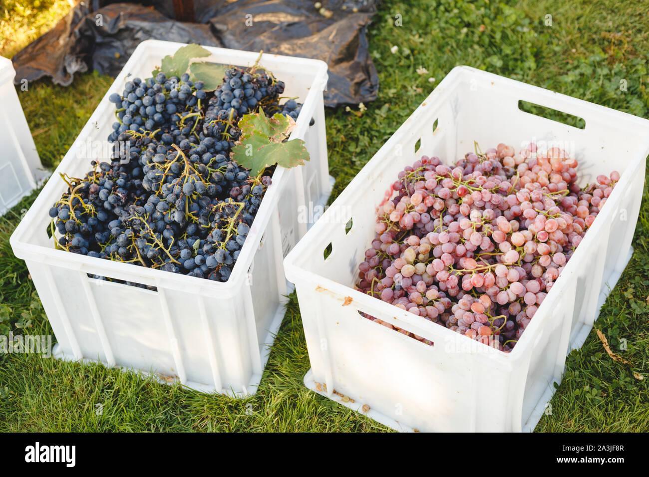 Cardinal Grape Stock Photos Cardinal Grape Stock Images Alamy