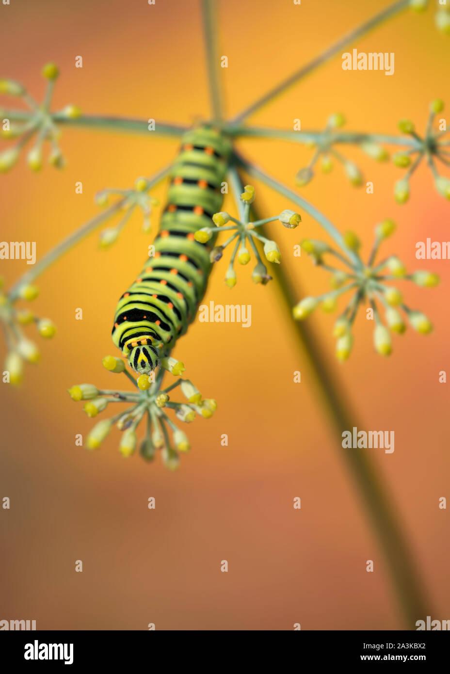 The king's garden, portrait of Swallowtail caterpillar (Papilio machaon) Stock Photo