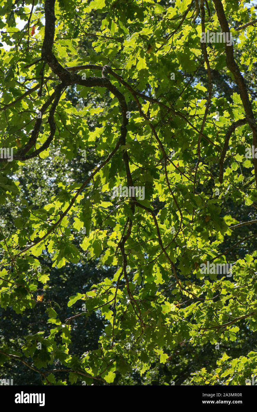 Oak (Quercus robur) overhanging branches and green overlapping leaves backlit on a bright and sunny day in late summer, September Stock Photo