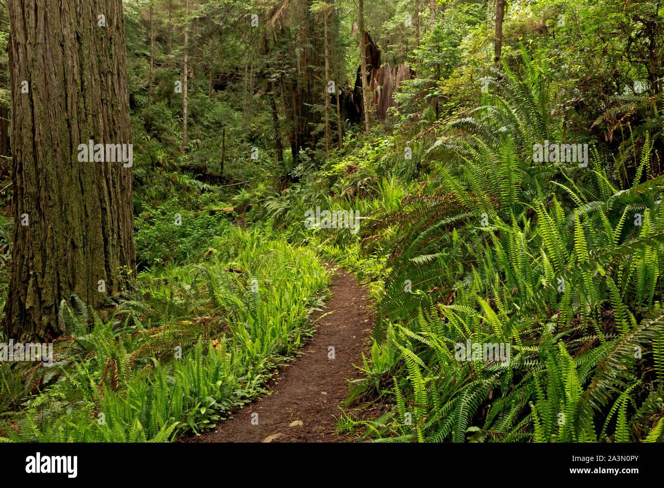 CA03644-00...CALIFORNIA - Ferns lining the Miner's Ridge Trail in Prairie Creek Redwoods State Park. Stock Photo