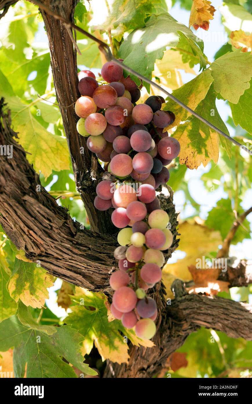 Bunch of  Grapes on the vine Stock Photo