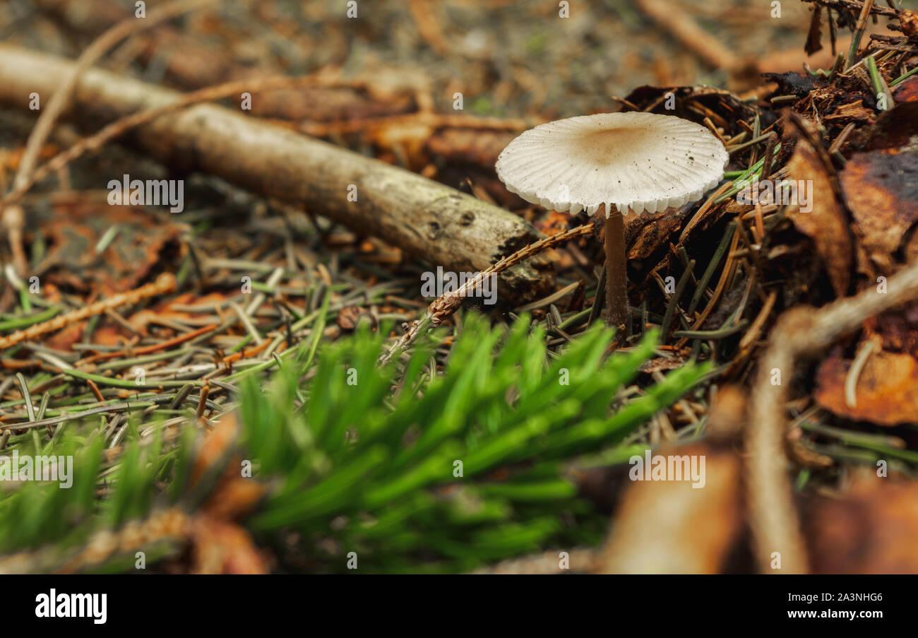 dapperling mushroom on forest floor with tree needles Stock Photo