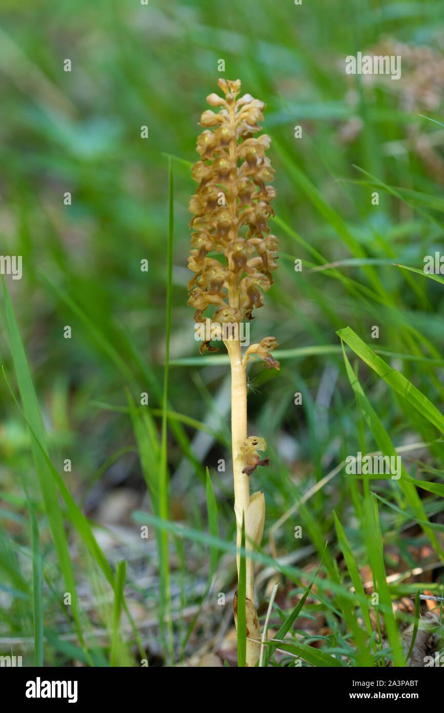 Bird's Nest Orchid (Neottia nidus-avis) flowers Stock Photo