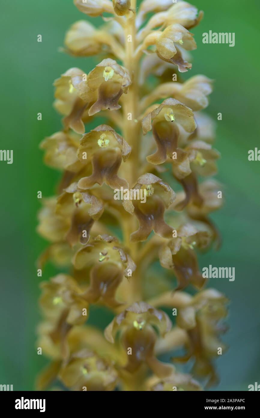 Close-up of individual Bird's Nest Orchid (Neottia nidus-avis) flowers Stock Photo
