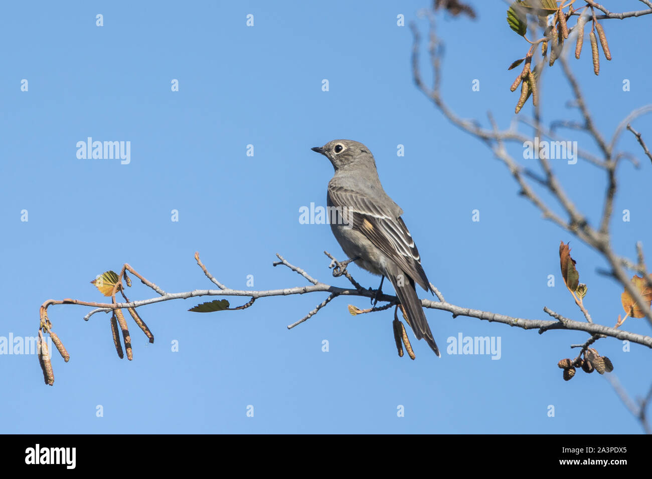 A northern Mockingbird is perched on a branch in western Montana. Stock Photo