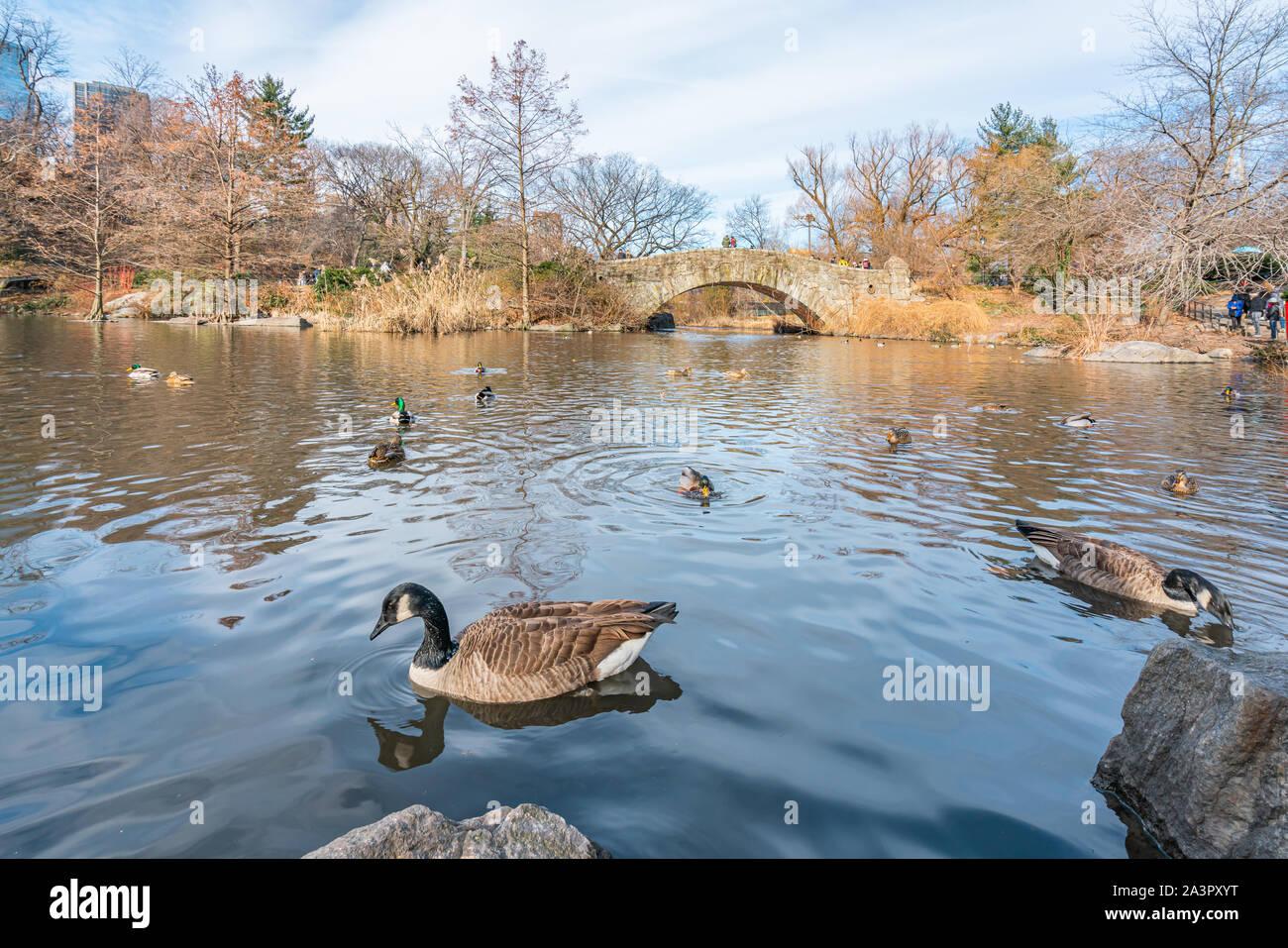 New York City, NY, USA - 25th, December, 2018 - Beautiful cold sunny day in Central Park lake with ducks near Gapstow Bridge, Manhattan. Stock Photo