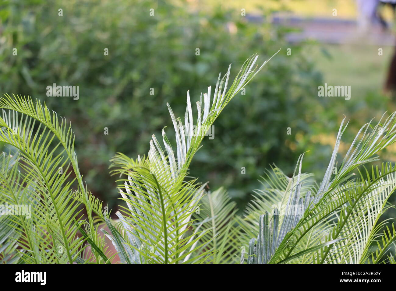 Green Leaf Backgrounds Leaves Of Fern In Natural Ornament From Green Plants Green Background Fern Shrub Stock Photo Alamy
