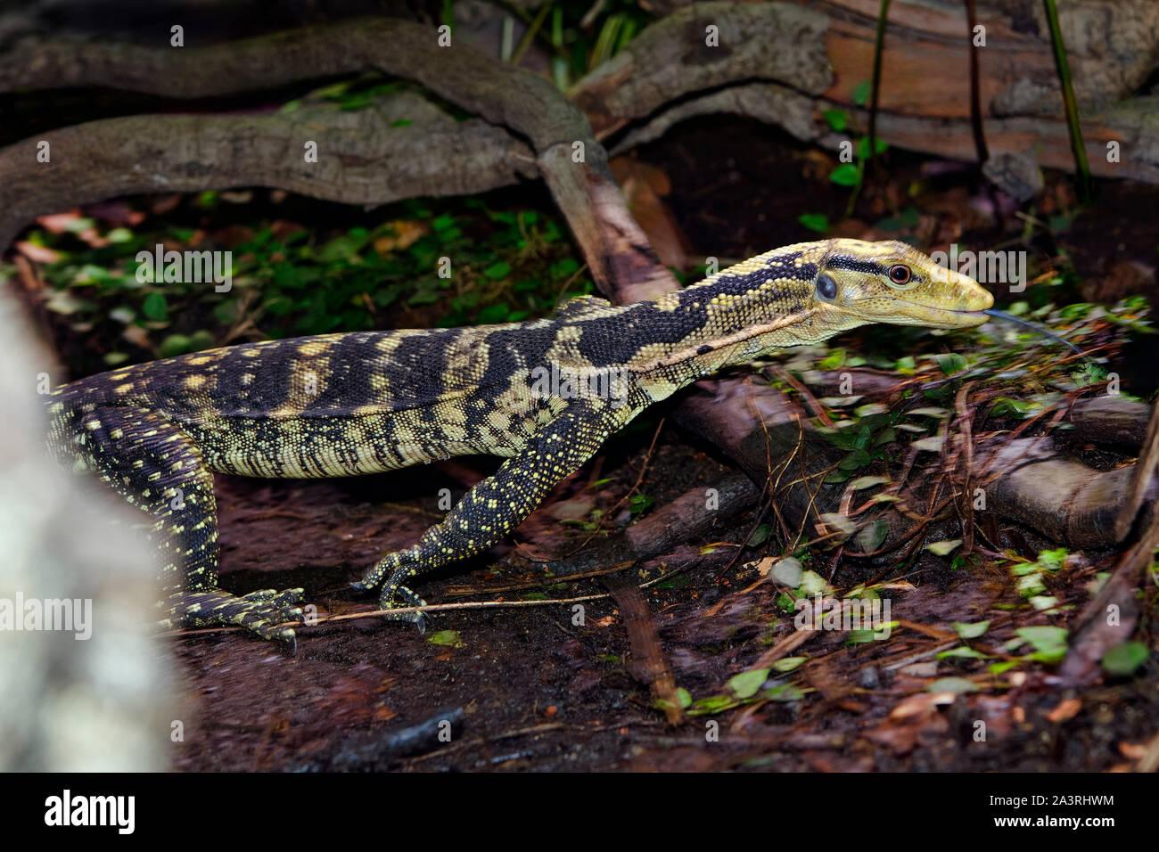 Yellow-headed water monitor - Varanus cumingi Stock Photo