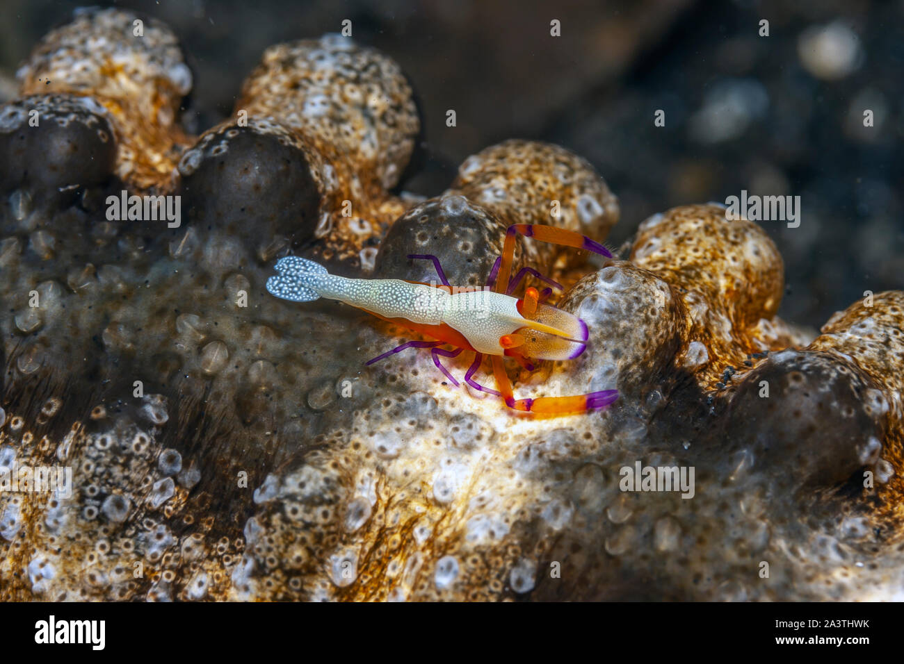 Periclimenes imperator, known as the emperor shrimp, is a organism of shrimp with a wide distribution across the Indo-Pacific Stock Photo