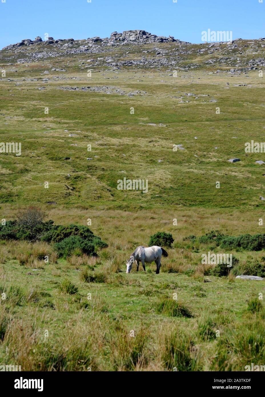 White horse grazing on Bodmin Moor with Rough Tor in background near Camelford, Cornwall, UK. Stock Photo
