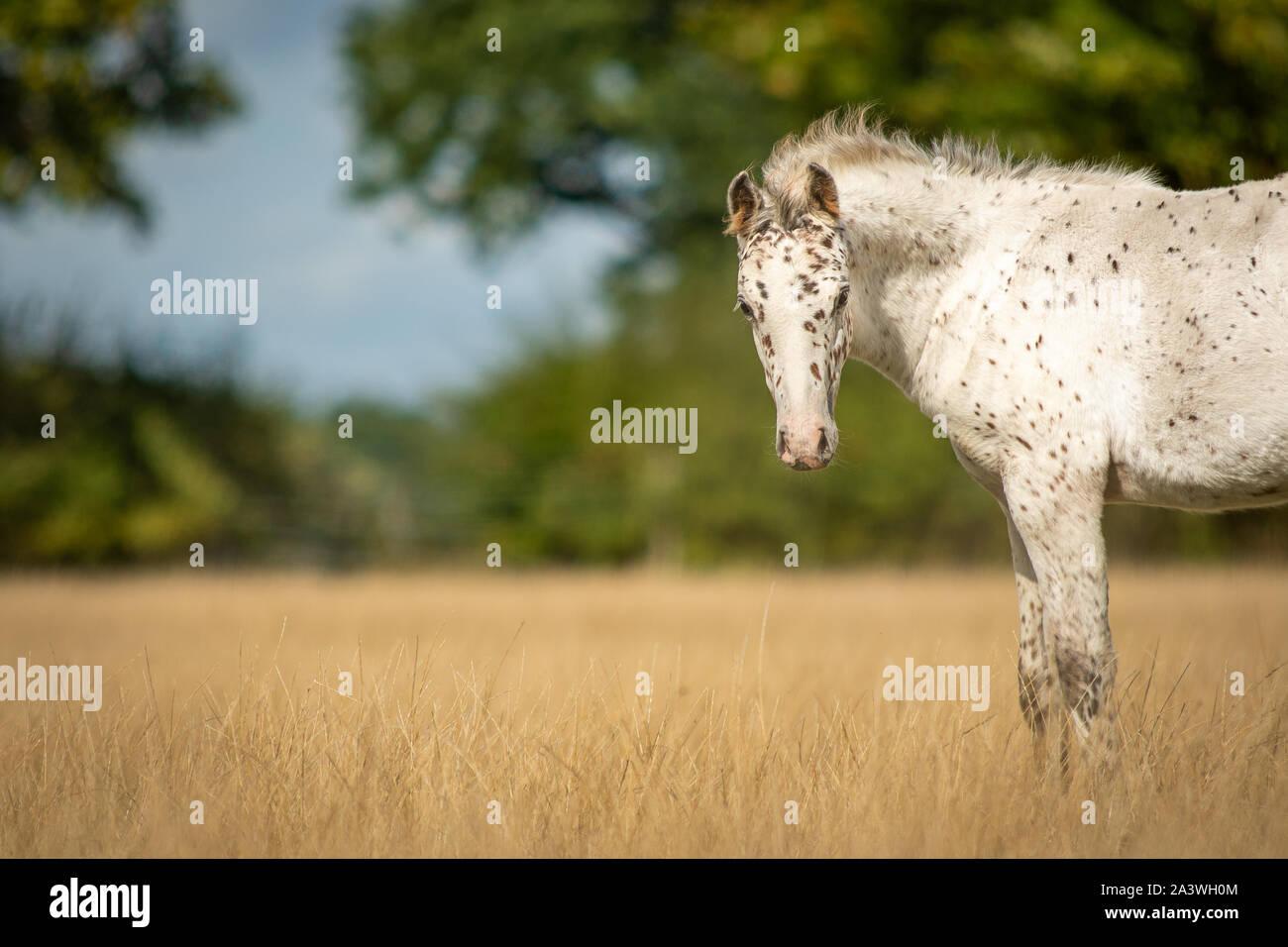 Knabstrupper Appaloosa Spotted Pony Foal in Grass Pasture Stock Photo