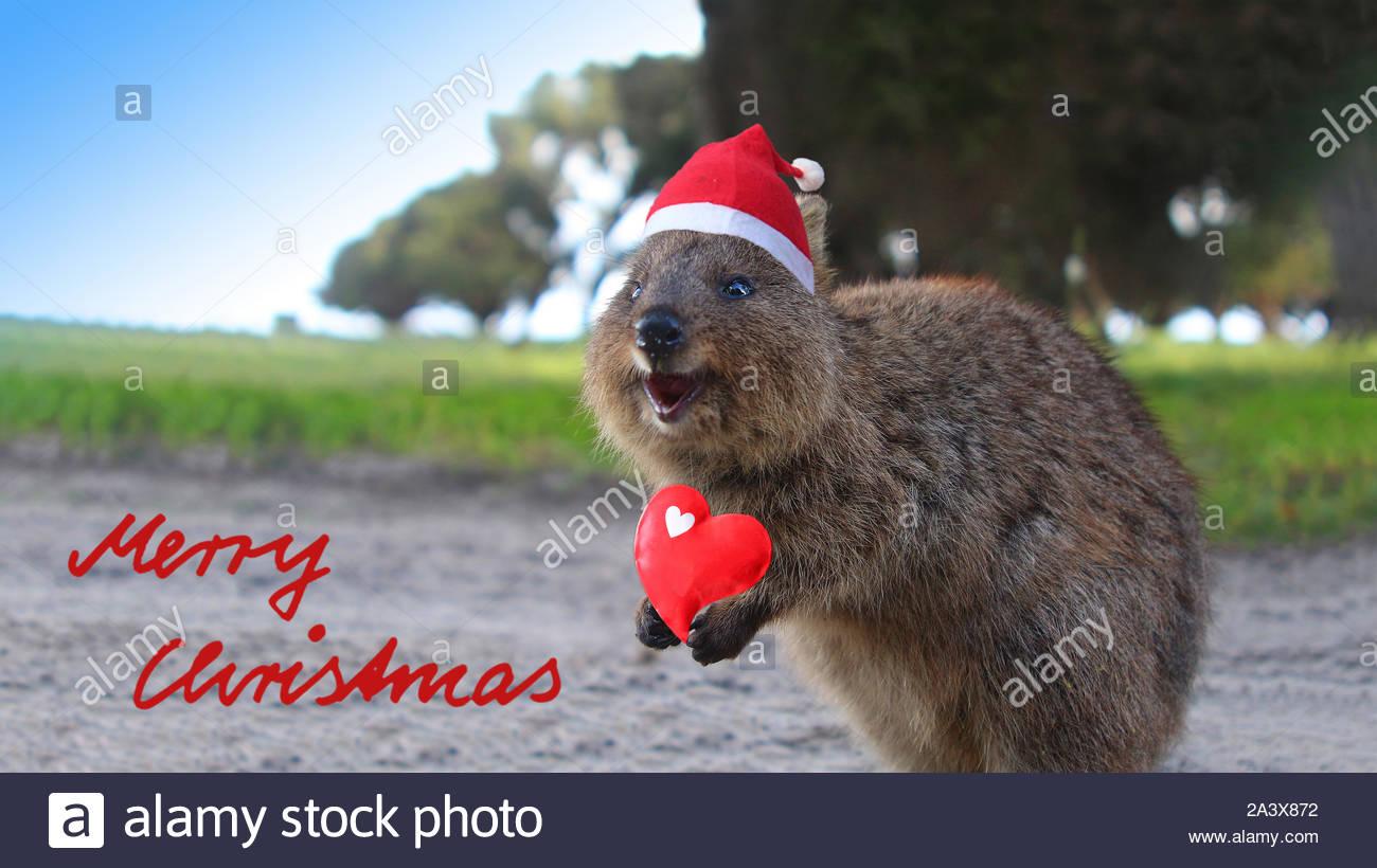Laughing Christmas Santa quokka - a small Australian kangaroo living on  Rottnest Island near Perth (Western Australia Stock Photo - Alamy