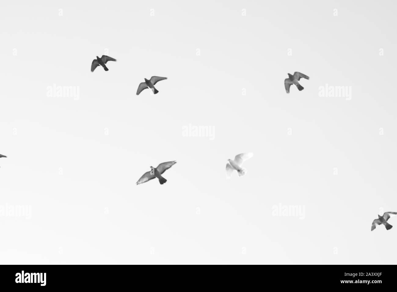 Bird pigeons fly in the sky. Black and white photo. Stock Photo
