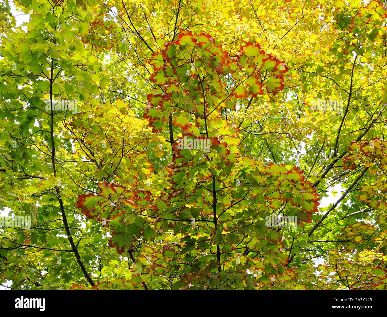 Spitzahorn mit Hitzeschäden (wegen sehr heissem/trockenem Sommer) Stock Photo