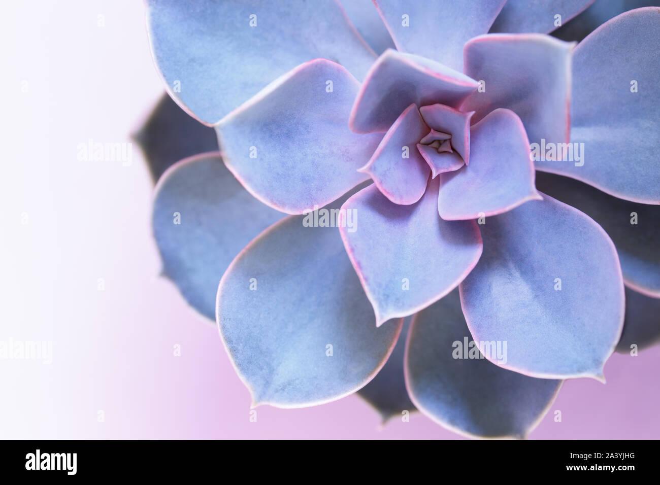Succulent Purple Perle Von Nurnberg Trendy House Plants On Pink Background Close Up Macro Stock Photo Alamy