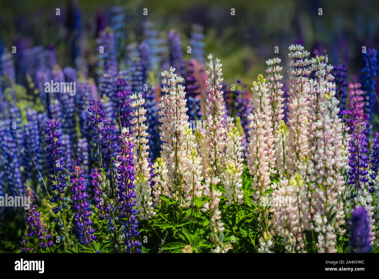 Lupins in New Zealand Stock Photo
