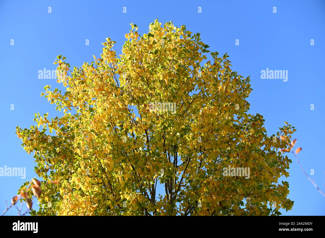 beautiful golden leaves on a huge tree lighted up by the sun and the bright sky, Stock Photo