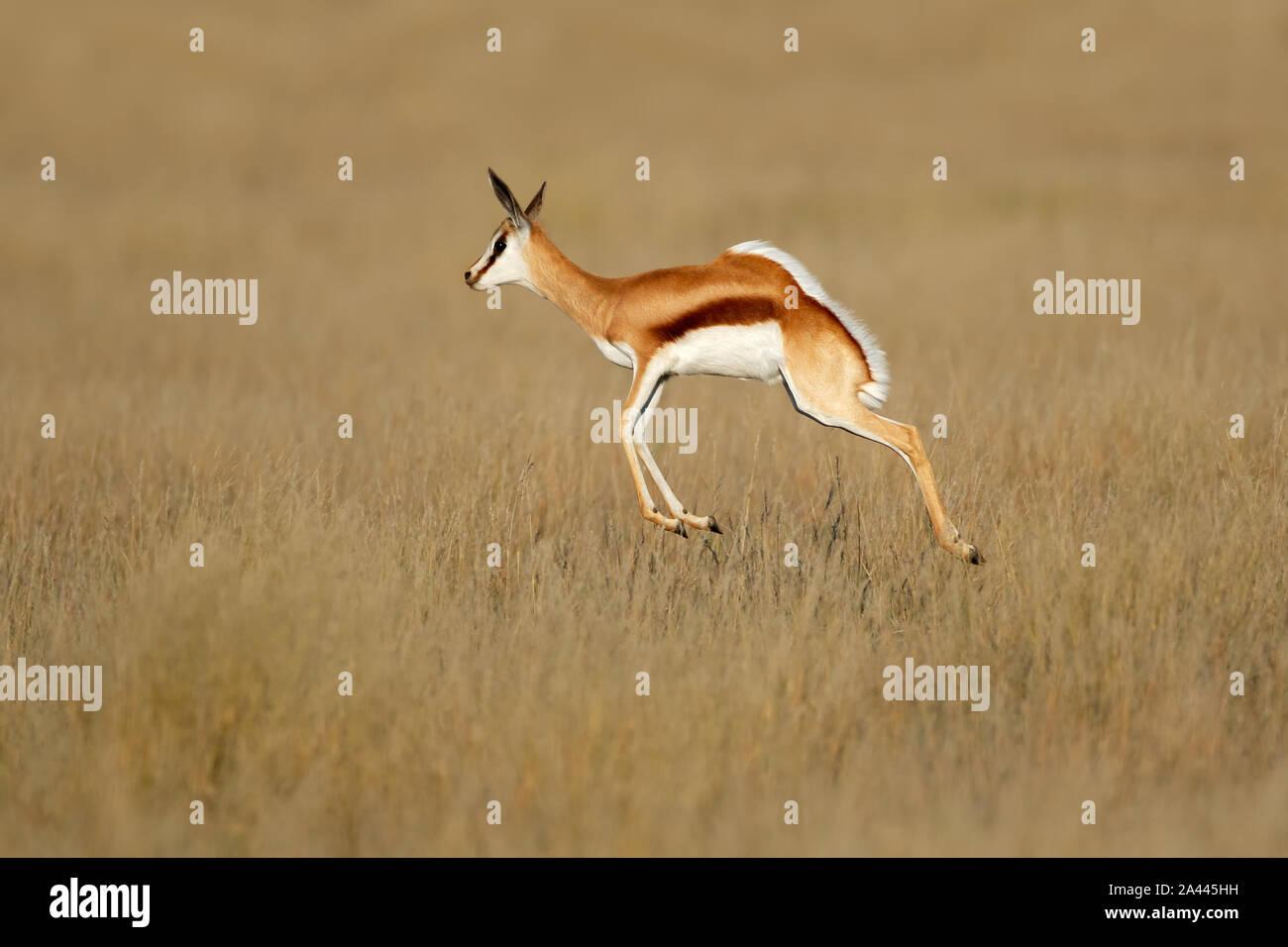 Jumping springbok antelope (Antidorcas marsupialis) in natural habitat, South Africa Stock Photo