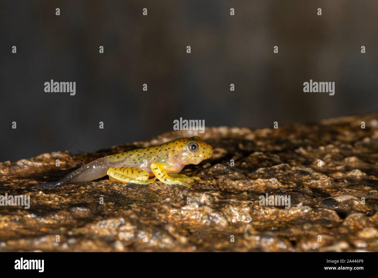 Tadpole of Malabar Gliding Frog seen at Amboli,Maharashtra,India Stock Photo