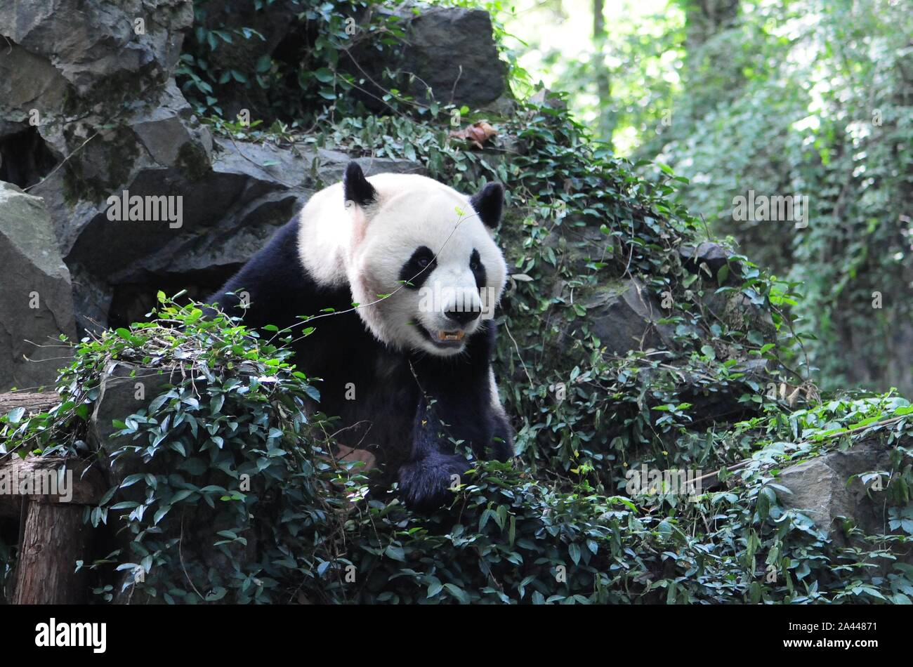Giant panda brothers Chengjiu and Shuanghao are pictured before a celebration for their five years birthday at Hangzhou Zoo in Hangzhou city, east Chi Stock Photo