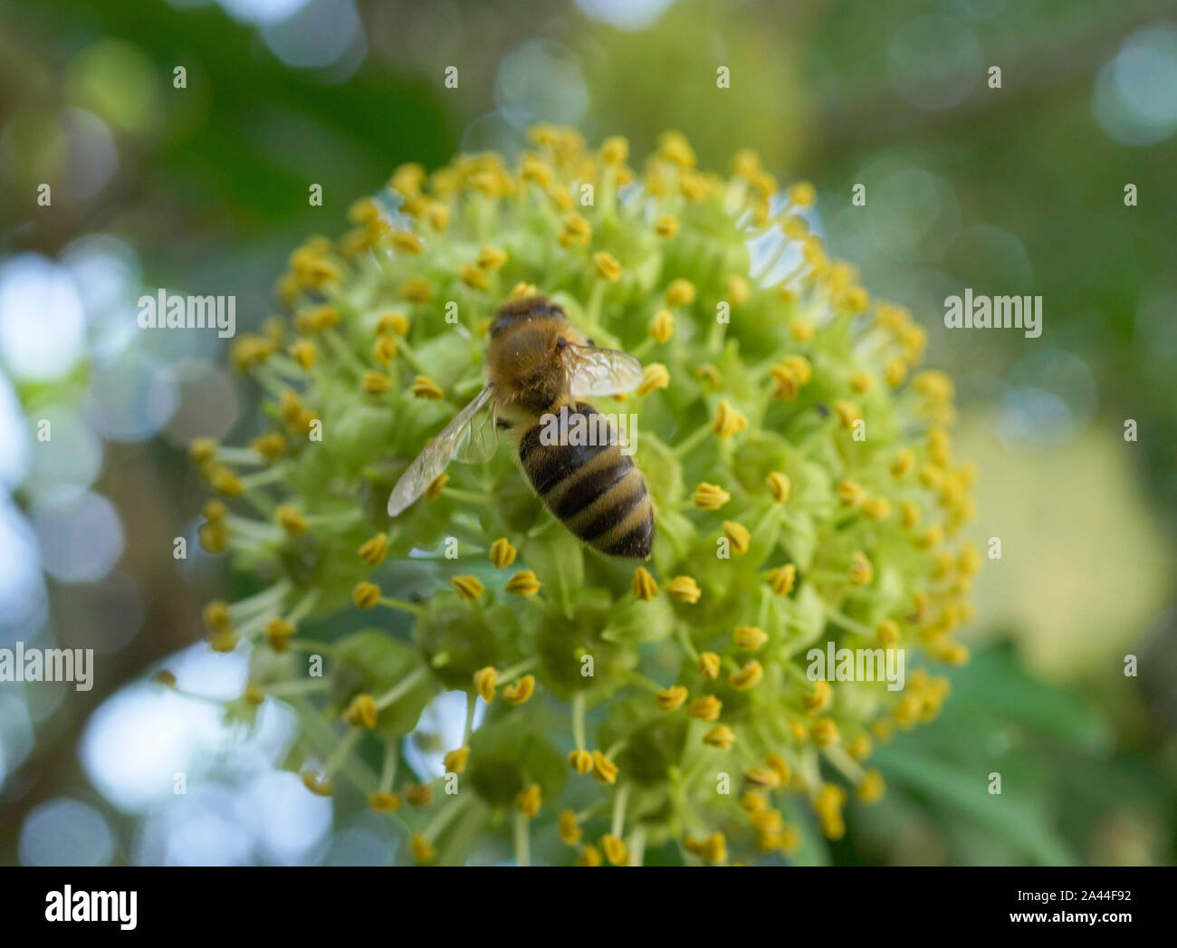 Bee seeks nectar at a flowering ivy (Hedera helix) in late summer, Bavaria, Germany, Europe Stock Photo