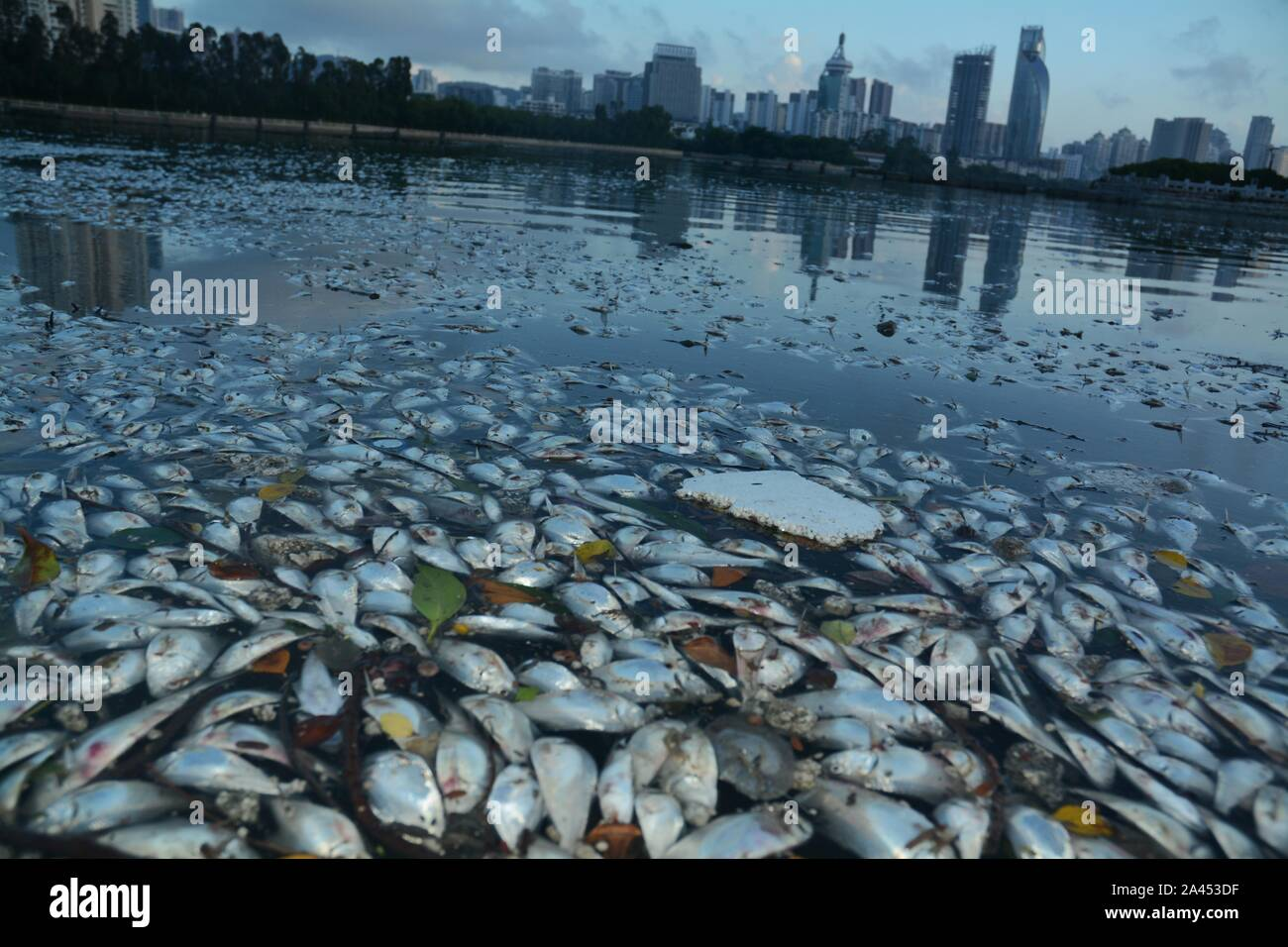 Dead fish is floating on a river after the Typhoon Bailu, the 11th typhoon this year, in Xiamen city, southeast China's Fujian province, 26 August 201 Stock Photo